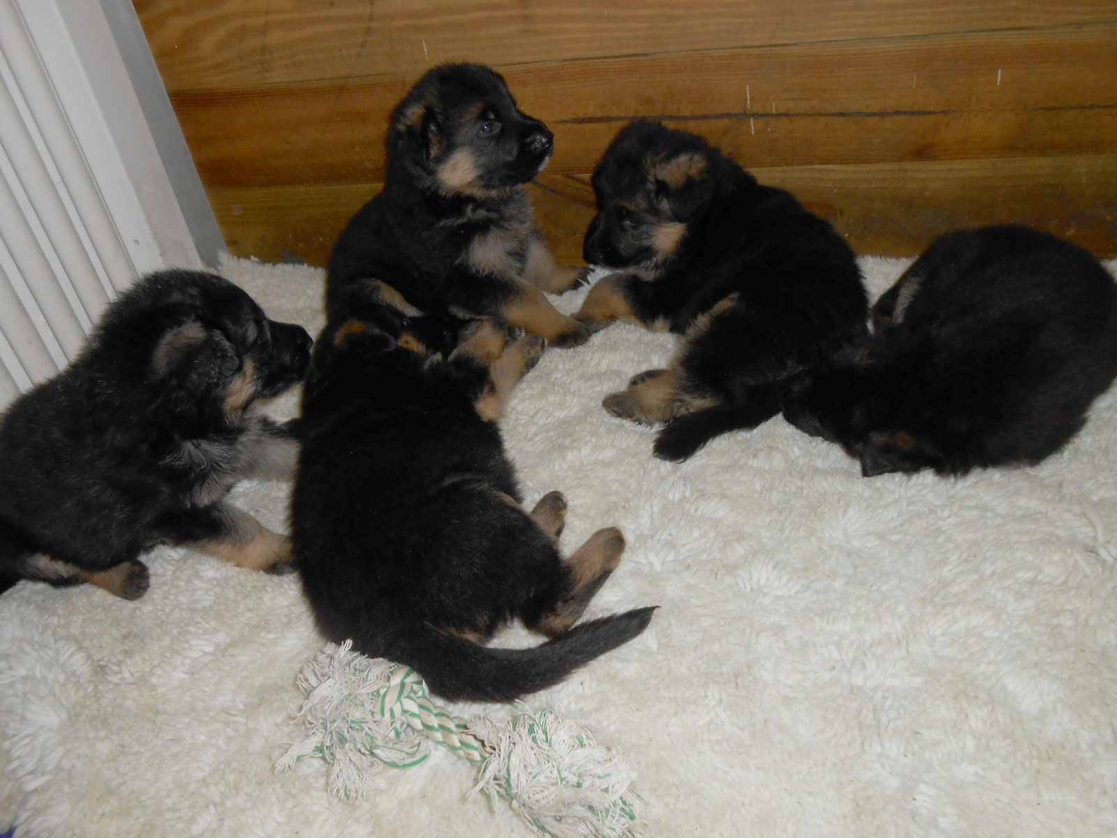 Puppies - One month
