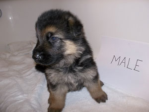 male puppy