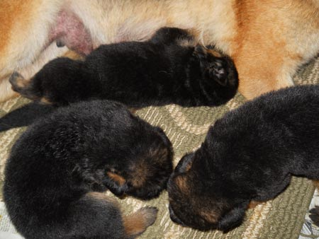 Puppies 3 weeks